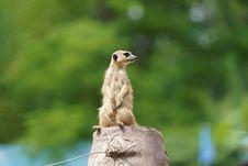 Free Meerkat, Mammal, Fauna, Terrestrial Animal Stock Photo - 101030340