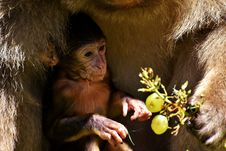 Free Macaque, Mammal, Fauna, Primate Royalty Free Stock Photo - 101030665