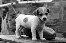 Free Dog, Black And White, Dog Like Mammal, Dog Breed Royalty Free Stock Photo - 101031285
