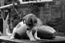 Free Black And White, Dog, Dog Like Mammal, Monochrome Photography Royalty Free Stock Image - 101031306