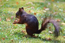 Free Squirrel, Fauna, Mammal, Fox Squirrel Stock Images - 101031384
