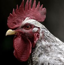 Free Chicken, Beak, Galliformes, Rooster Stock Photos - 101031483