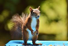 Free Fauna, Squirrel, Mammal, Rodent Stock Images - 101080364