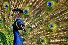 Free Peafowl, Fauna, Feather, Beak Royalty Free Stock Photography - 101083637
