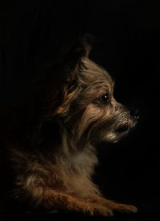 Free Dog, Dog Like Mammal, Dog Breed, Terrier Stock Photography - 101086562