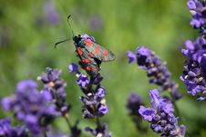 Free Insect, Lavender, Nectar, English Lavender Royalty Free Stock Images - 101086629