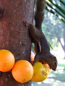 Free Tree, Orange, Fruit Stock Photos - 101086713