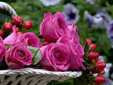 Free Rose, Flower, Pink, Rose Family Stock Photos - 101087563