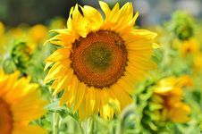 Free Flower, Sunflower, Yellow, Sunflower Seed Stock Photography - 101088972