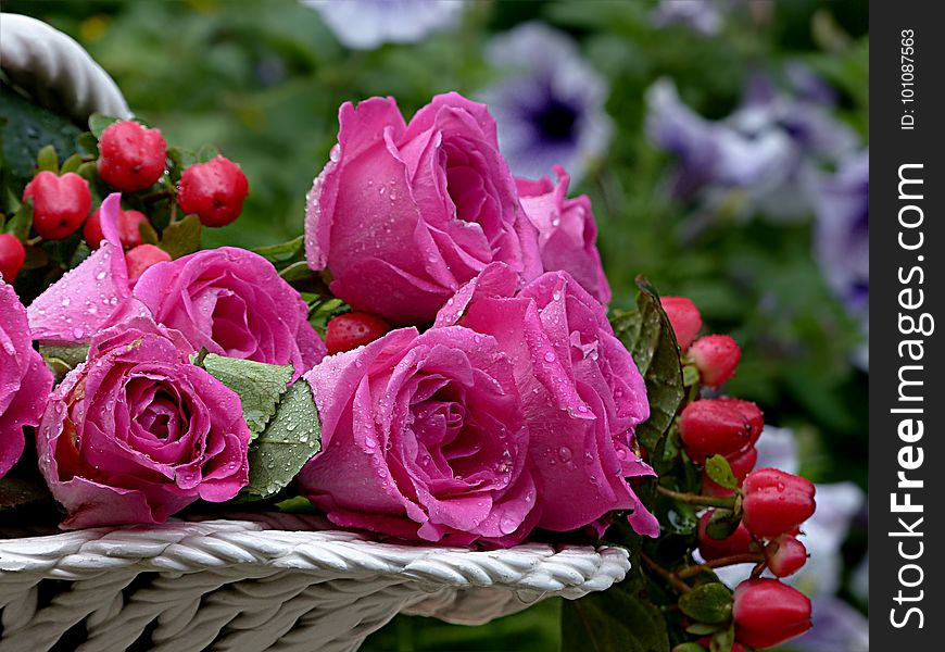 Rose, Flower, Pink, Rose Family