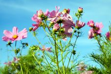Free Flower, Flowering Plant, Plant, Garden Cosmos Royalty Free Stock Photography - 101093207