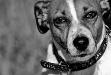 Free Dog, Black And White, Dog Breed, Dog Like Mammal Stock Photo - 101093420