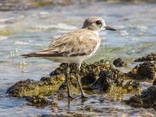 Free Bird, Shorebird, Sandpiper, Fauna Royalty Free Stock Photography - 101093497