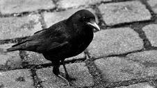 Free Bird, Black And White, Beak, Fauna Royalty Free Stock Photography - 101093707