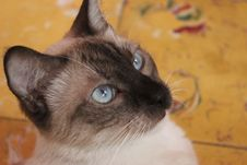 Free Cat, Siamese, Thai, Small To Medium Sized Cats Stock Images - 101093734