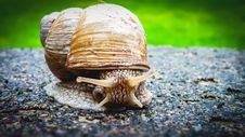 Free Snails And Slugs, Snail, Molluscs, Invertebrate Royalty Free Stock Images - 101093739