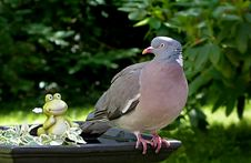 Free Bird, Pigeons And Doves, Fauna, Stock Dove Stock Photo - 101097120