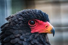 Free Beak, Close Up, Chicken, Galliformes Royalty Free Stock Photo - 101097635
