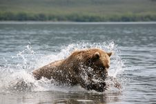 Free Mammal, Wildlife, Grizzly Bear, Brown Bear Stock Images - 101097644