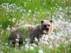Free Brown Bear, Grizzly Bear, Wildlife, Fauna Royalty Free Stock Images - 101097719