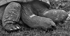 Free Tortoise, Turtle, Black And White, Fauna Royalty Free Stock Images - 101098399