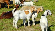 Free Goats, Goat, Cow Goat Family, Pasture Stock Image - 101099291