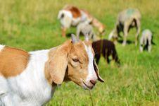 Free Goats, Goat, Pasture, Fauna Stock Images - 101099314