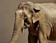 Free Elephant, Elephants And Mammoths, Terrestrial Animal, Indian Elephant Stock Image - 101099971