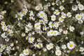Free Camomile In Field Royalty Free Stock Photos - 10114998