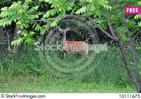Free Deer In Brush Royalty Free Stock Photo - 10111675