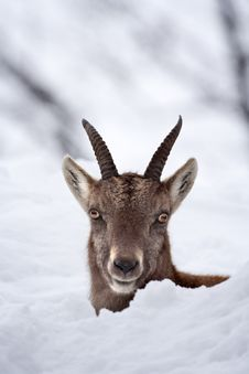 Free Peek-a-boo Juvenile Alpine Ibex In The Snow Royalty Free Stock Photography - 10112147
