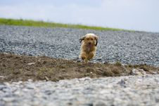Free Running Small Dog Royalty Free Stock Images - 10112729