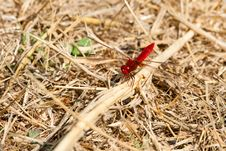Free Dark Red Dragonfly Royalty Free Stock Image - 10113496