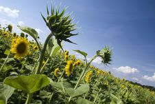 Free Sunflowers Under The Sunlight Royalty Free Stock Photography - 10113767