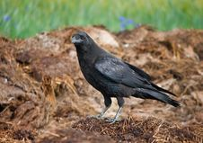 Standing Black Crow Royalty Free Stock Images