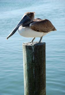 Free Pelican On Wharf Stock Photo - 10115410