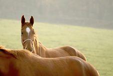 Horses Back Shining In Sunset Light Stock Images