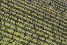 Free Vineyards Stock Photo - 10117090