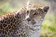 Free Leopard (Panthera Pardus) Royalty Free Stock Images - 10117159