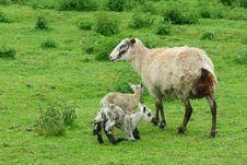 Free Sheeps Stock Photos - 10118333