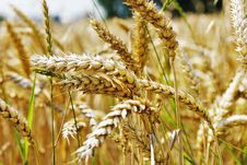 Free Food Grain, Wheat, Grass Family, Grain Stock Images - 101100044