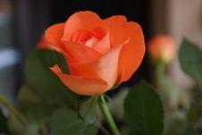Free Rose, Flower, Rose Family, Floribunda Stock Photos - 101100203