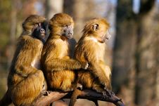 Free Mammal, Fauna, Primate, New World Monkey Royalty Free Stock Image - 101100396