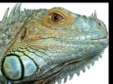 Free Reptile, Iguana, Scaled Reptile, Iguania Royalty Free Stock Photo - 101101115