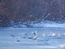 Free Water Bird, Bird, Swan, Arctic Ocean Stock Images - 101101124