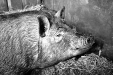 Free Pig Like Mammal, Black And White, Pig, Fauna Royalty Free Stock Photography - 101103707