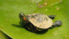 Free Turtle, Emydidae, Fauna, Reptile Stock Photo - 101103780