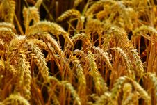 Free Food Grain, Grain, Grass Family, Wheat Stock Photos - 101104053