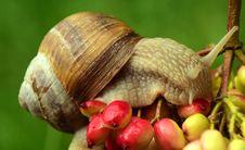 Free Snails And Slugs, Snail, Molluscs, Invertebrate Royalty Free Stock Photography - 101104317