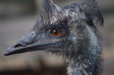 Free Emu, Bird, Beak, Ratite Stock Image - 101149871